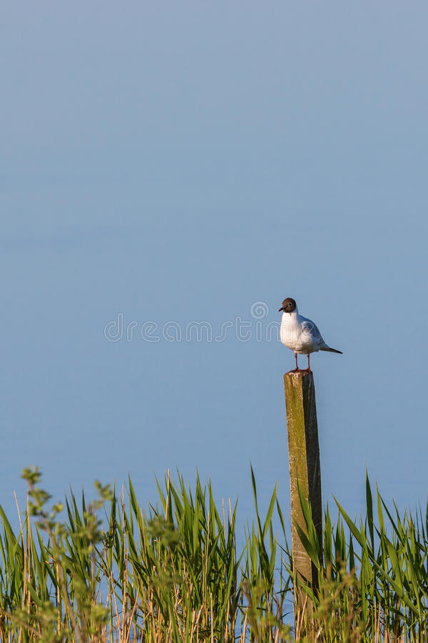 Black-headed gull sitting on a pole. At the lake and rest stock photos