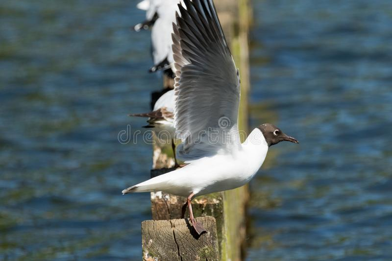 Black-headed Gull about to take flight. Black-headed Gull with it`s wings spread ready to fly off a wooden post royalty free stock photo