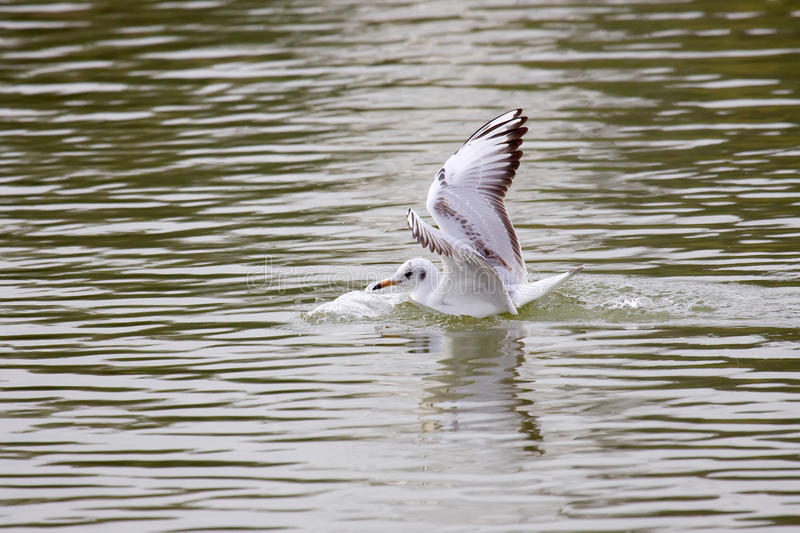 Download Black-Headed Gull Touching Down Stock Photo - Image: 12187090