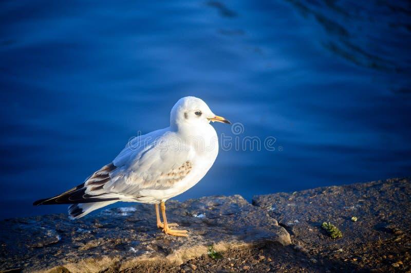 Black-headed gull in winter plumage in Kelsey Park, Beckenham, Greater London. A black-headed gull stands by the lake in Kelsey Park, Beckenham, Kent. Black royalty free stock images