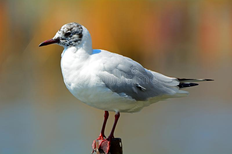 Black-headed gull in winter plumage at Lake Shinobazu, Tokyo, Ja. Black-headed gull in winter plumage at Lake Shinobazu in Tokyo, Japan royalty free stock photos