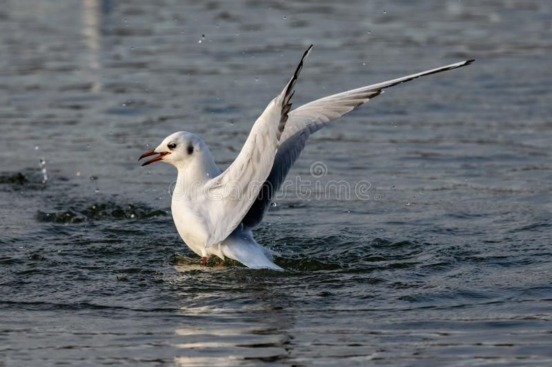 Black headed gull in winter plumage landing on water. At twilight royalty free stock photo