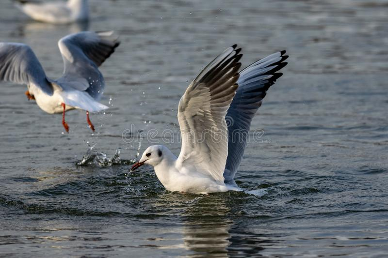 Black headed gull in winter plumage landing on water. At twilight royalty free stock images