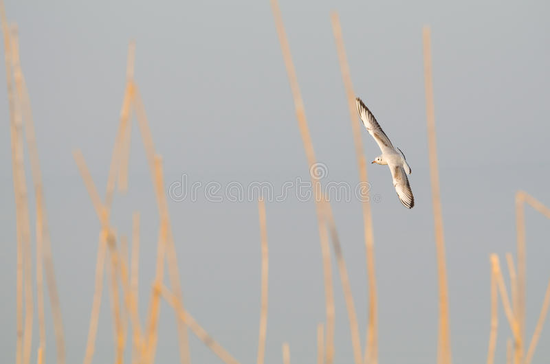 Black-headed Gull in Winter Plumage. With Reeds royalty free stock images