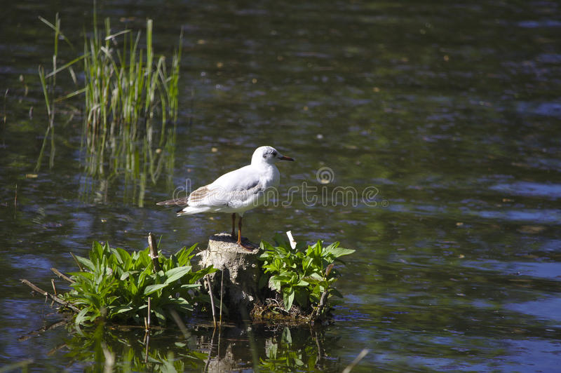 Black-headed gull in winter plumage royalty free stock photo