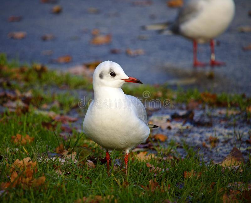 Black-headed gull in winter plumage standing in the grass. In the park stock images