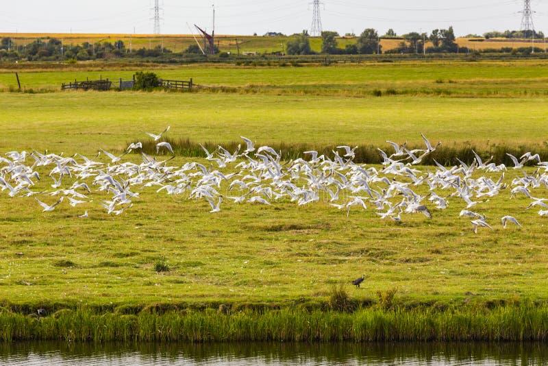 Black-headed gulls in flight. Black-headed gulls & x28;Chroicocephalus ridibundus& x29; in flight, Faversham, England, United Kingdom stock photo