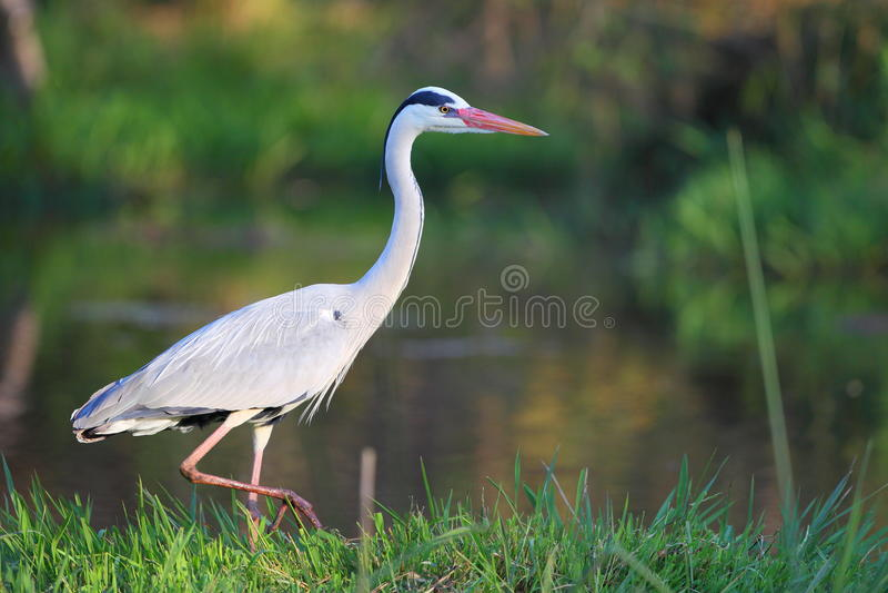 Download Black Headed Heron stock image. Image of birds, herons - 20891745