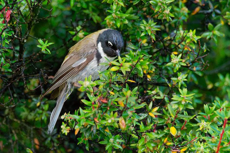 The Black-headed Honeyeater Melithreptus affinis is a species of bird in the family Meliphagidae. It is one of two members of th royalty free stock images