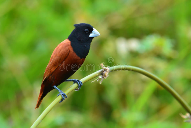 Black headed Munia bird. Beautiful bird, Black headed Munia bird (Lonchura malacca) perching on a branch, Thailand stock photography