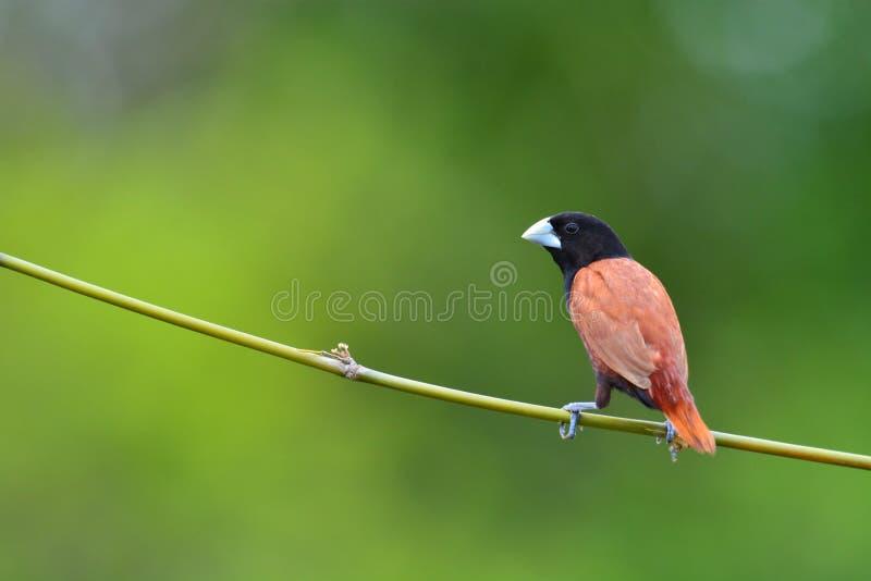 Black headed Munia bird. Beautiful bird, Black headed Munia bird (Lonchura malacca) perching on a branch, Thailand royalty free stock images