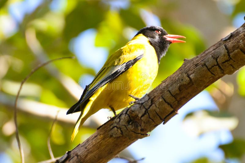 Black headed oriole. A black headed oriole is roosting on a branch in the morning sunshine with its red beak open. It is a yellow bird with a black head. Its royalty free stock photo