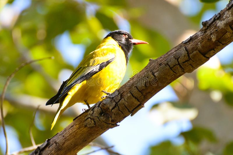 Black headed oriole. A black headed oriole is roosting on a branch in the morning sunshine. It is a yellow bird with a black head. Its call is very pleasing to royalty free stock photography