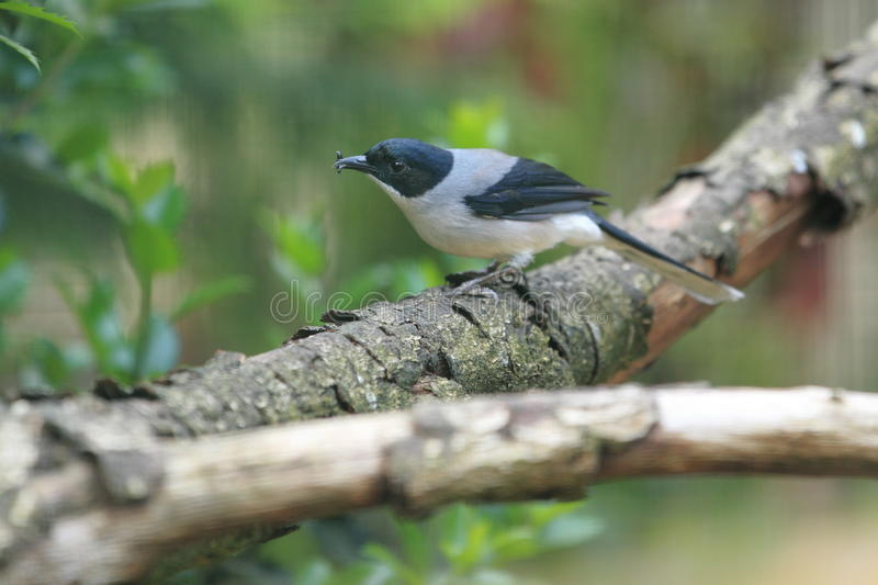 Black-headed Sibia Stock Photography