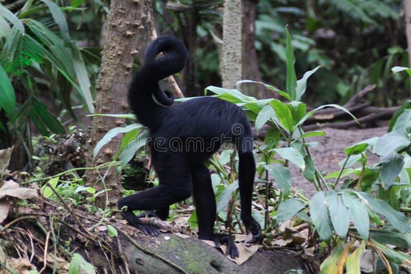 Download Black Headed Spider Monkey Stock Photo - Image: 83705521