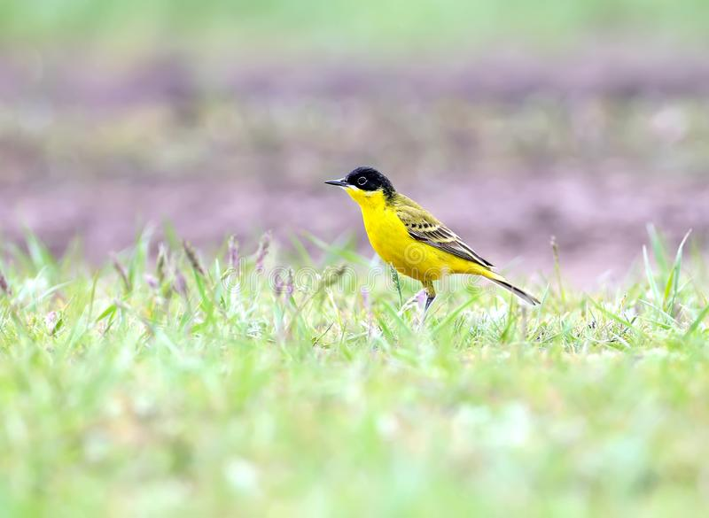 Black-headed Wagtail male royalty free stock image