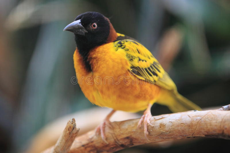 Download Black-headed weaver stock photo. Image of nature, spottedbacked - 25834556