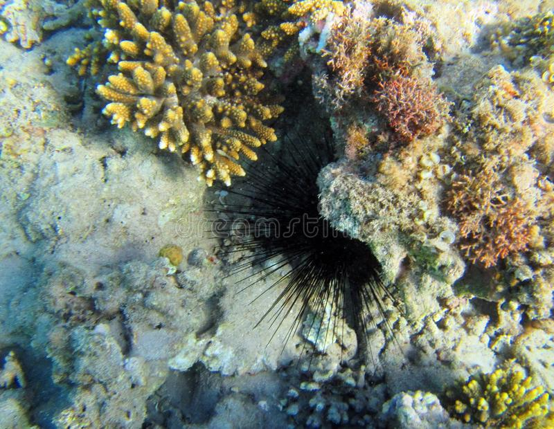 Black hedgehog and coral reef, Egypt royalty free stock photos