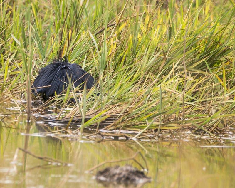 Black Heron royalty free stock photography