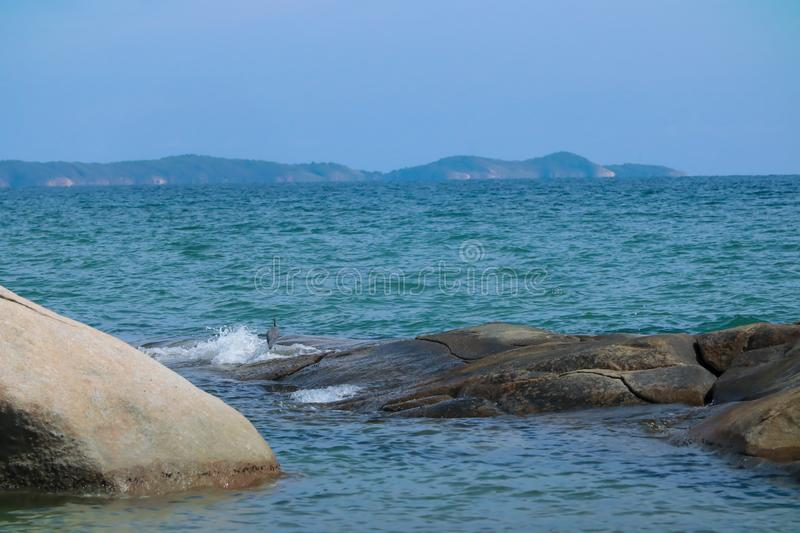 Black Heron hunts on the gulf of sea. In Thailand royalty free stock photos