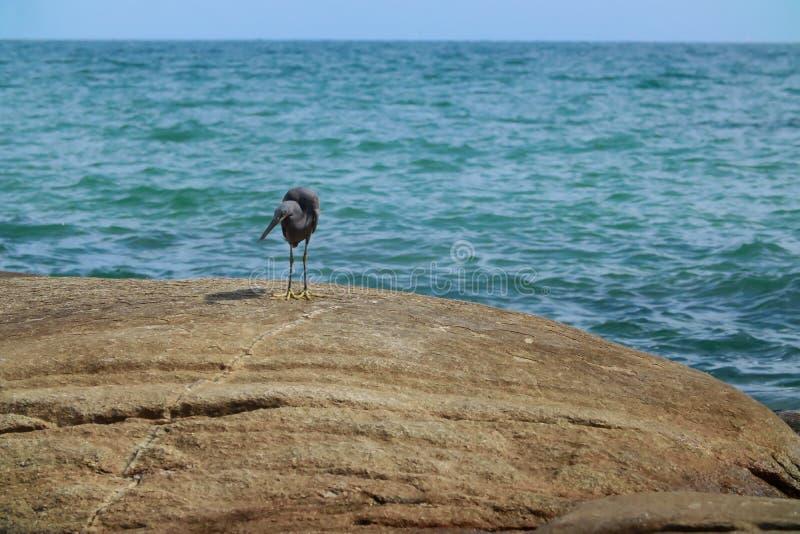 Black Heron hunts on the rock. Black Heron hunts on the gulf of sea in Thailand royalty free stock photos