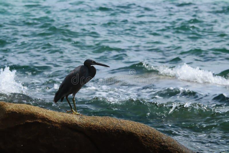 Black Heron hunts on the rock. Black Heron hunts on the gulf of sea in Thailand stock image