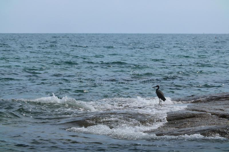 Black Heron hunts on the rock. Black Heron hunts on the gulf of sea in Thailand stock images