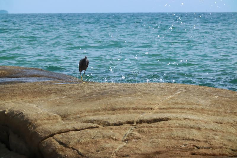 Black Heron hunts on the rock. Black Heron hunts on the gulf of sea in Thailand stock photography