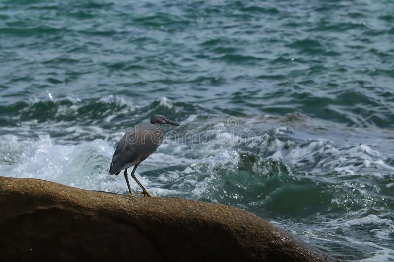 Black Heron hunts on the rock. Black Heron hunts on the gulf of sea in Thailand royalty free stock photography