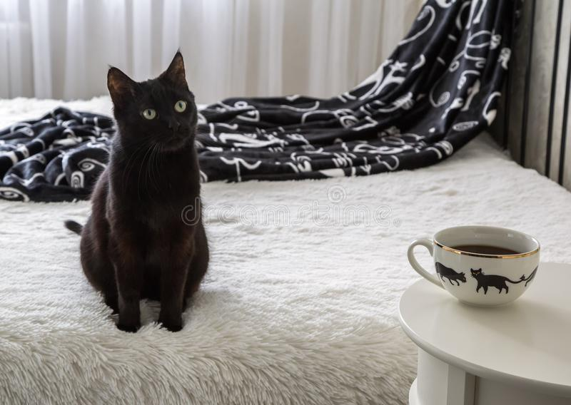 Black home cat. Sitting on the bed. close-up. animal mammal stock photos