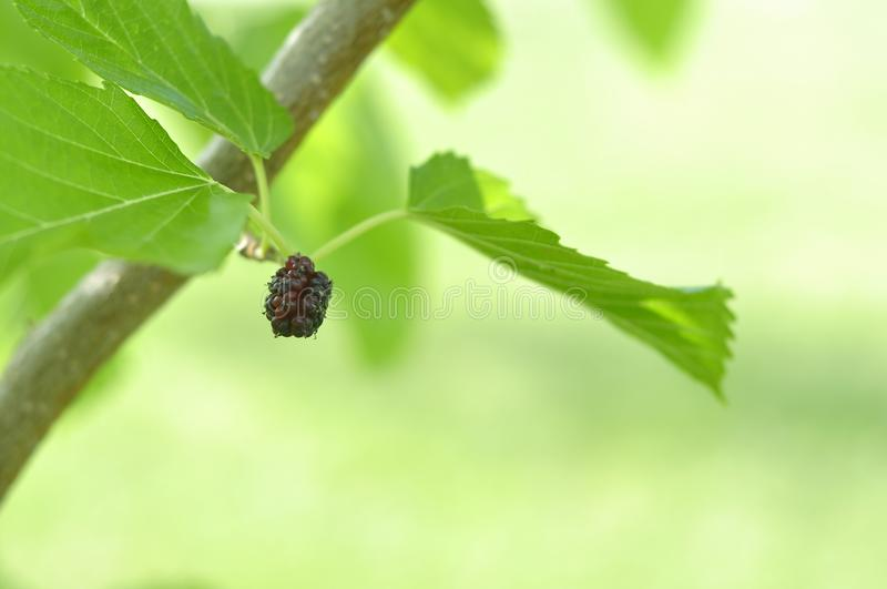 Black homemade mulberry growing on the tree ripe young royalty free stock photos