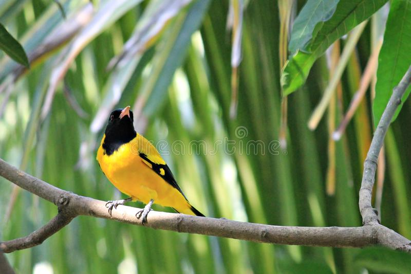The Black-hooded Oriole stock images