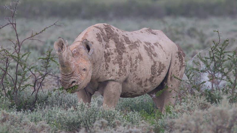 Black (hooked-lipped) rhinoceros (Diceros bicornis). Etosha, Namibia stock photos