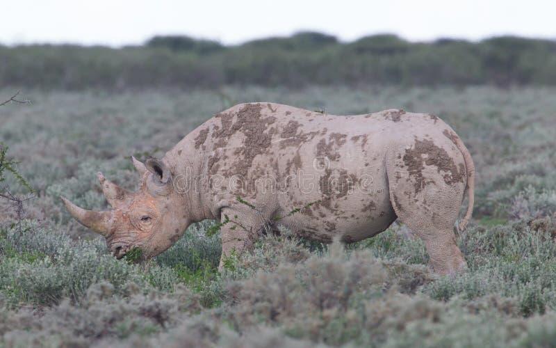 Black (hooked-lipped) rhinoceros (Diceros bicornis). Etosha, Namibia royalty free stock photography