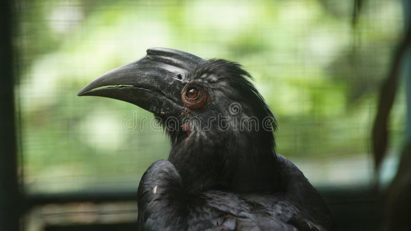 The black hornbill is a species of bird of the hornbill family Bucerotidae. It lives in Asia in Brunei Darussalam, Indonesia, Malaysia, Singapore, Thailand. It royalty free stock photo