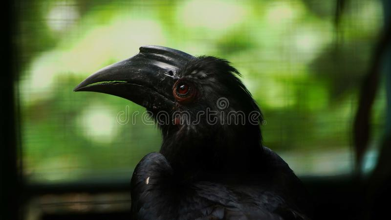 The black hornbill is a species of bird of the hornbill family Bucerotidae. It lives in Asia in Brunei Darussalam, Indonesia, Malaysia, Singapore, Thailand. It stock photos