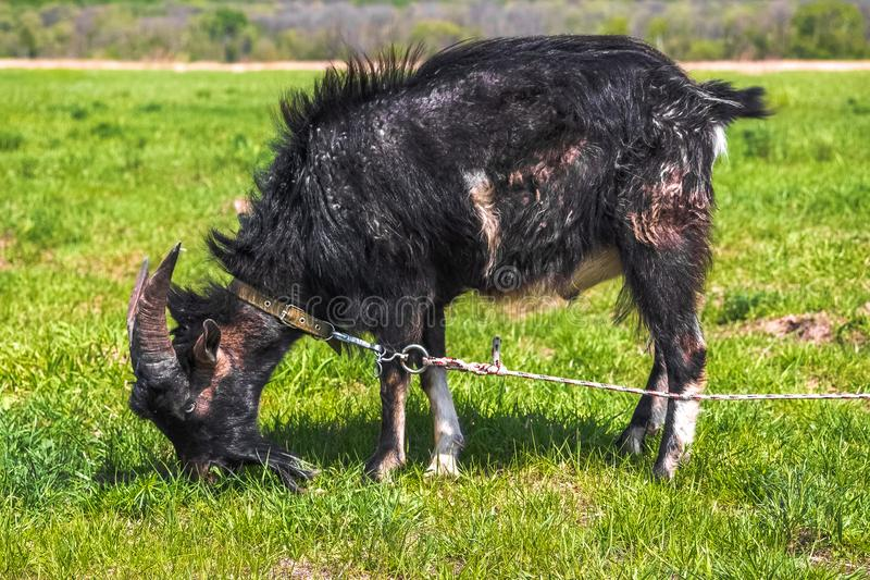 The black horned goat is tied to graze in a spring or summer meadow and eats field grass.  royalty free stock image