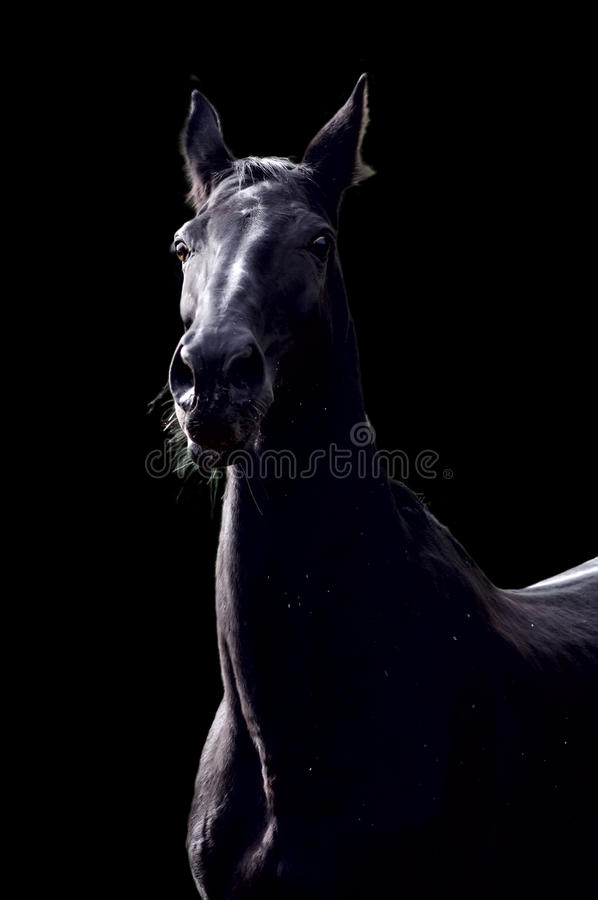 Download Black horse stock photo. Image of racehorse, animals - 21441128