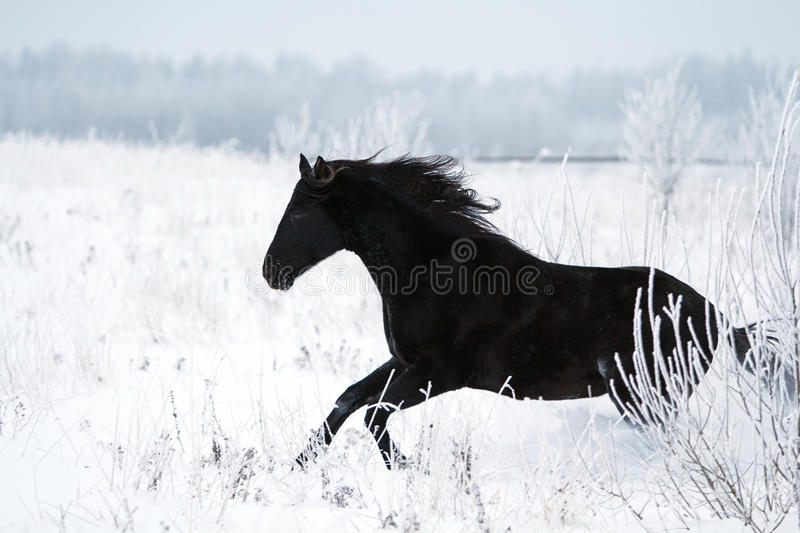 Download Black Horse stock photo. Image of stallion, snow, field - 28365162