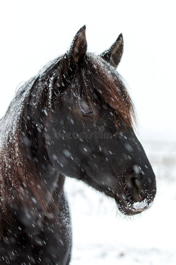 Download Black Horse stock image. Image of animal, horse, blizzard - 28365447