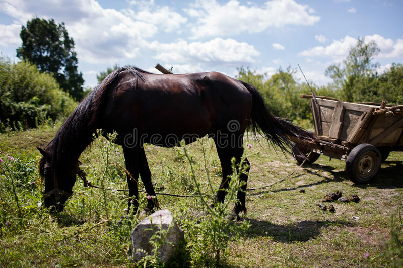 Black horse eats grass in pasture stock images