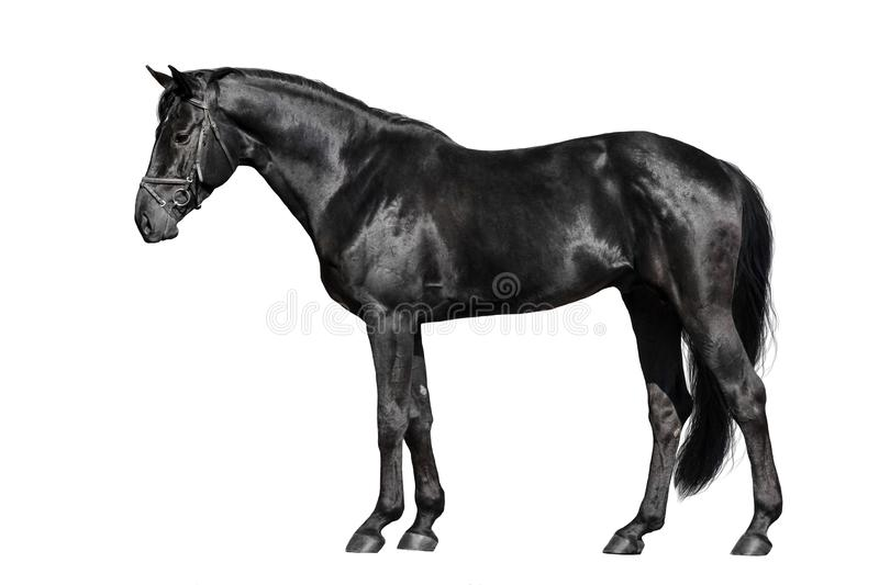 Black horse exterior. Isolated on white background royalty free stock photography