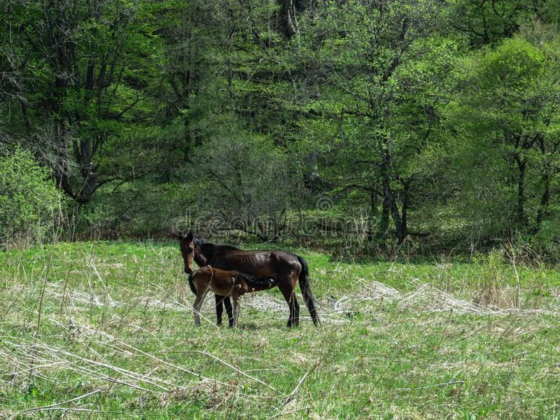 A black horse feeds its foal on a spring green meadow in the forest stock image
