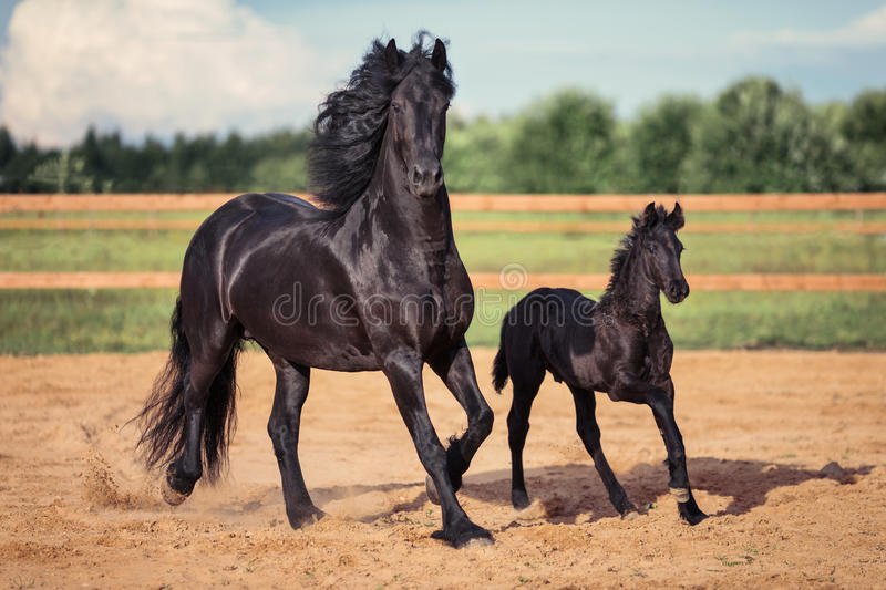 Black horse and foal running royalty free stock photos