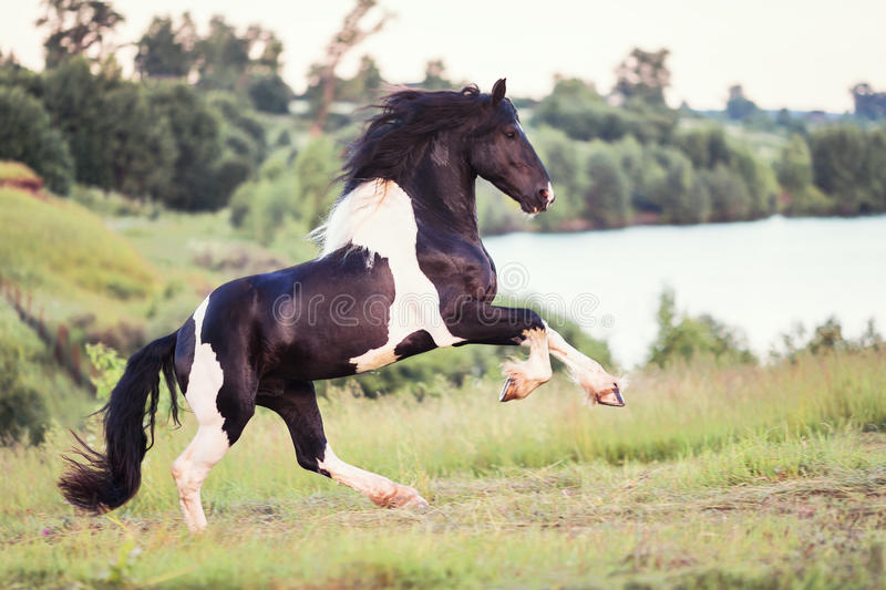 Black horse galloping in the field royalty free stock photography