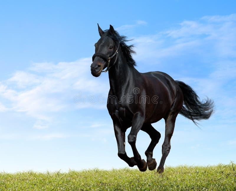 Black horse gallops stock photo