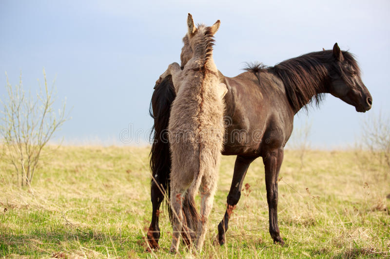 Black horse and gray donkey play