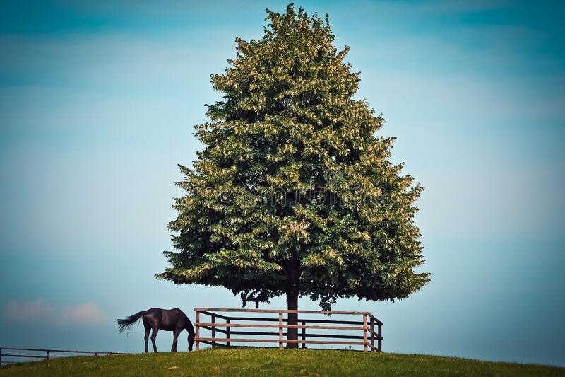 Black Horse Beside Green Leave Tree royalty free stock image