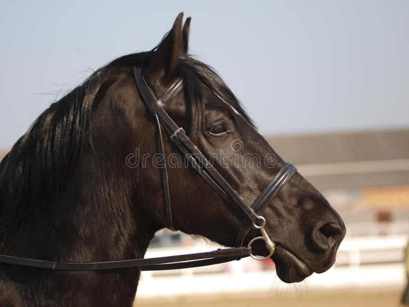 Black Horse Headshot In Bridle royalty free stock images