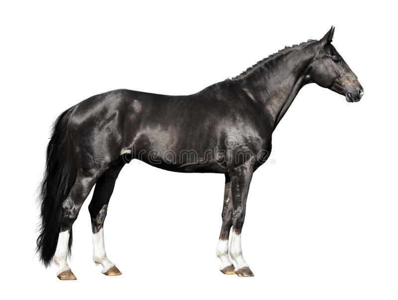 Black Horse Isolated On The White Stock Photo